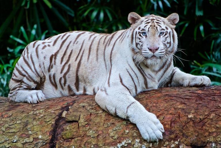 White-tiger-2407799_1280
