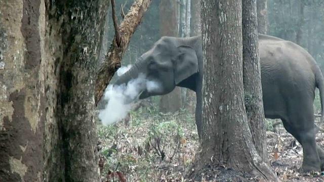 665374-smoking-elephant