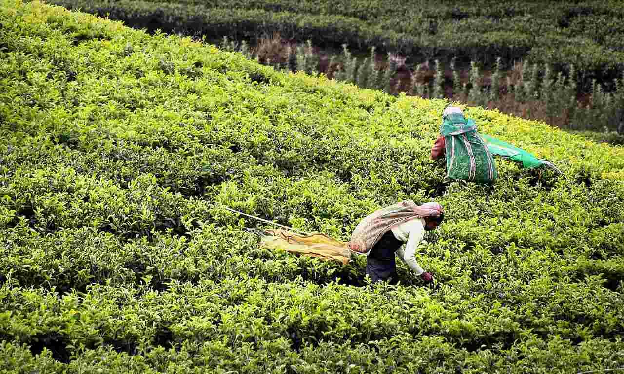 Tamil Nadu's Tea workers